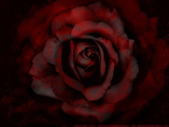 Rich Red Rose